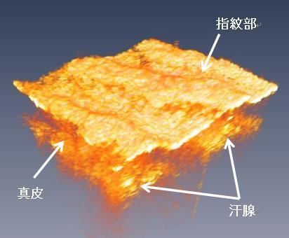 取得に成功したヒトの指表面組織の3次元イメージ
